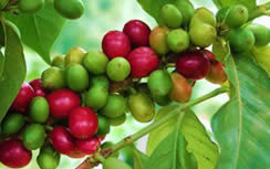 Unripe and ripe coffee cherries