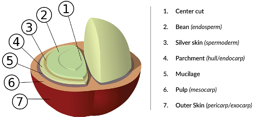 Anatomy of a coffee bean